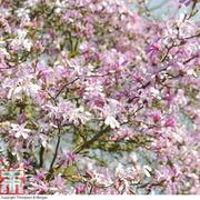 Magnolia stellata 'Rosea' (Large Plant) - 1 x 12 litre potted magnolia plant