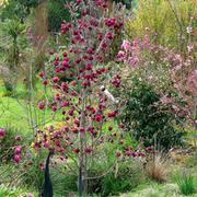 Magnolia 'Genie' (Large Plant) - 1 x 10 litre potted magnolia plant