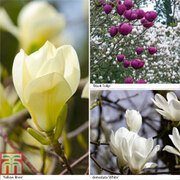 Magnolia Collection - 3 bare root magnolia plants - 1 of each variety