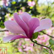 Magnolia x soulangeana 'Alexandrina' (Large Plant) - 1 x 5 litre potted magnolia plant
