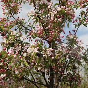 Crab Apple 'Sugar Tyme' (Large Plant) - 1 x 12 litre potted malus plant