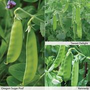 Pea 'Full Season Collection' (Mangetout) - 12 pea jumbo plug plants - 4 of each variety