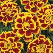 Marigold 'Durango Bee' F1 Hybrid - 1 packet (40 marigold seeds)