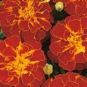 Marigold 'Durango Red' - 1 packet (45 marigold seeds)