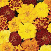 Marigold 'Durango Collection' - 4 packets - 1 of each variety (155 marigold seeds in total)