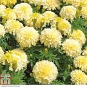 Marigold 'French Vanilla' F1 Hybrid - 24 marigold plug plants