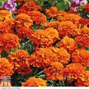 Marigold 'Fireball' - 24 marigold plug plants