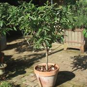 Medlar 'Westerveldt' (patio) - 1 patio medlar tree