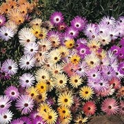 Mesembryanthemum criniflorum 'Magic Carpet Mixed' - 1 packet (2000 mesembryanthemum seeds)
