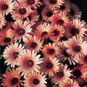 Mesembryanthemum criniflorum 'Apricot Tutu' - 1 packet (200 mesembryanthemum seeds)