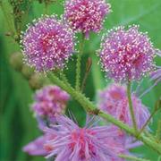 Mimosa nuttallii 'Pink Sparkles' - 1 packet (20 mimosa seeds)
