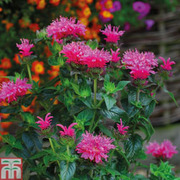 Monarda didyma 'Cranberry Lace' (Large Plant) - 1 x 1 litre potted monarda plant