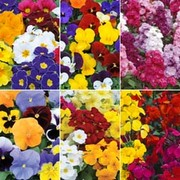 Most Scented Bumper Pack - 72 plug plants - 12 of each variety