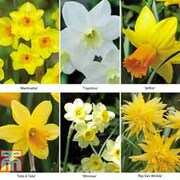 Narcissus 'Dwarf Collection' - 150 narcissus bulbs (25 of each variety)