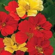 Nasturtium 'Bolero Mixed' - Part of the Alan Titchmarsh Collection - 1 packet (30 nasturtium seeds)