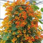 Nasturtium 'Phoenix' - 1 packet (25 nasturtium seeds)