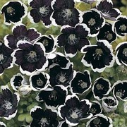 Nemophila menziesii 'Pennie Black' - 1 packet (280 seeds)