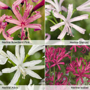 Nerine bowdenii Collection - 20 bulbs - 5 of each variety