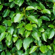New Zealand Broadleaf (Hedging) - 1 bare root hedging plant