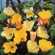 Oenothera odorata 'Apricot Delight' - 1 packet (50 oenothera seeds)