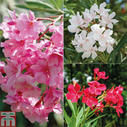 Oleander - 4 x 14cm potted oleander plants - 1 of each colour