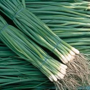 Onion 'Summer Isle' (Bunching Onion) - 1 packet (500 onion seeds)