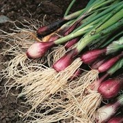 Spring Onion 'Apache' - RHS endorsed vegetable seeds - 1 packet (750 spring onion seeds)