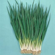 Spring Onion 'Feast' F1 Hybrid - RHS endorsed vegetable seeds - 1 packet (500 spring onion seeds)