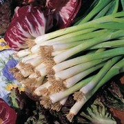 Spring Onion 'Winter White Bunching' - 1 packet (500 seeds)
