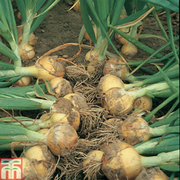 Onion 'Santero' F1 Hybrid - 1 packet (75 seeds)