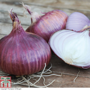 Onion 'Red Baron' (Spring Planting) - 75 onion sets