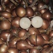Onion 'Shakespeare' (Autumn Planting) - 375g of onion sets