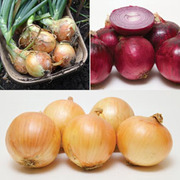 Onion 'Early Collection' (Spring Planting) - 450 onion sets - 150 of each variety