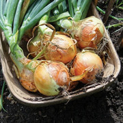 Onion 'Spitfire' F1 Hybrid (Spring Planting) - 150 onion sets