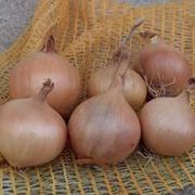 Onion 'Sturon' (Spring Planting) - 150 onion sets