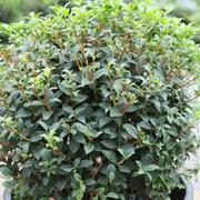 Osmanthus x burkwoodii (Large Plant) - 1 x 3.5 litre potted osmanthus plant