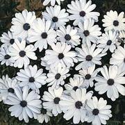 Osteospermum 'Glistening White' - 1 packet (80 osteospermum seeds)