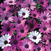 Osteospermum hybrida 'Passion Mixed' - 1 packet (10 osteospermum seeds)
