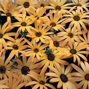 Osteospermum 'African Sun' - 1 packet (80 osteospermum seeds)