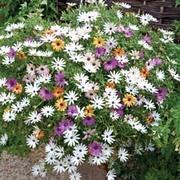 Osteospermum 'Falling Stars'™ (Sunbrella) - 10 osteospermum Postiplug plants