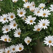 Osteospermum 'Snow Pixie' (Hardy) - 3 osteospermum jumbo plug plants
