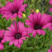 Osteospermum 'Tresco Purple' (Hardy) - 3 osteospermum jumbo plug plants