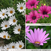Osteospermum Collection (Hardy) - 9 osteospermum jumbo plug plants - 3 of each variety