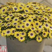 Osteospermum 'Blue Eyed Beauty' - 5 osteospermum Postiplug plants