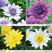 Osteospermum 3D Collection - 20 osteospermum jumbo plug plants - 5 of each colour