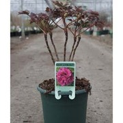 Tree Peony 'Cang Zhi Hong' (Large Plant) - 1 x 6 litre potted plant