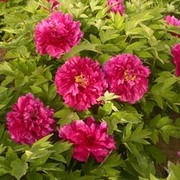 Tree Peony 'Luoyang Hong' (Large Plant) - 1 x 6 litre potted plant