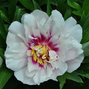 Peony 'Cora Louise' (Large Plant) - 1 x 3.6 litre potted paeonia plant