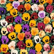 Pansy 'Petite Mixed' F1 Hybrid - 1 packet (35 pansy seeds)