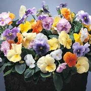 Pansy 'Water Colours Mixed' F1 Hybrid - 1 packet (30 pansy seeds)